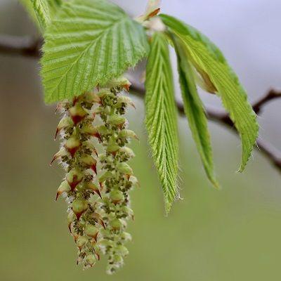 Carpinus betulus hornbeam tree