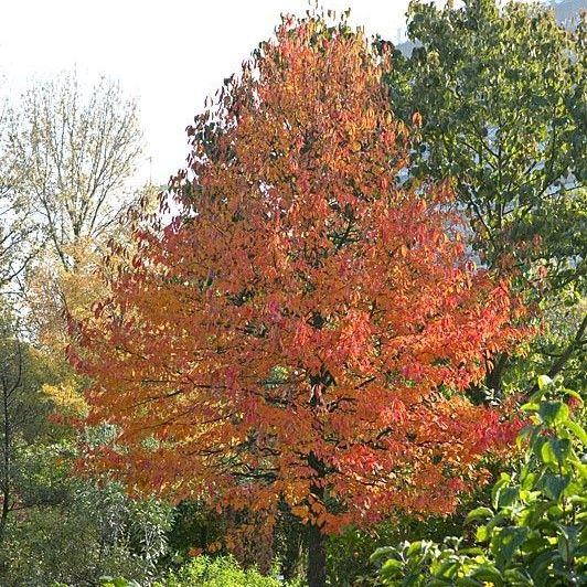 Nyssa sylvatica Tupelo tree
