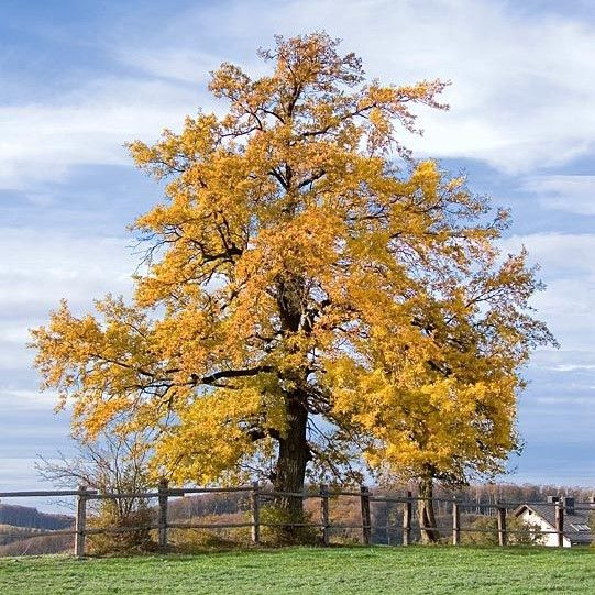 Quercus robur, the English oak tree