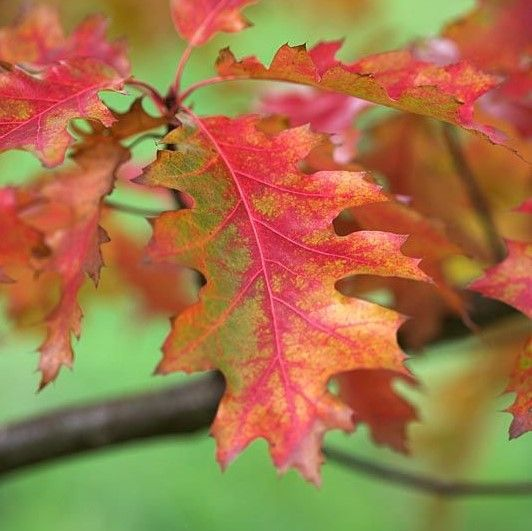 Quercus rubra, the red oad