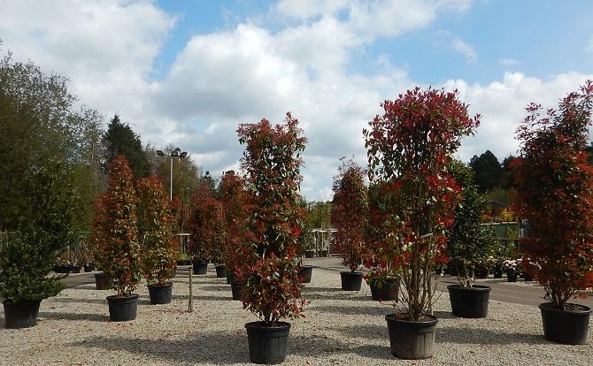 Large Photinia shrubs