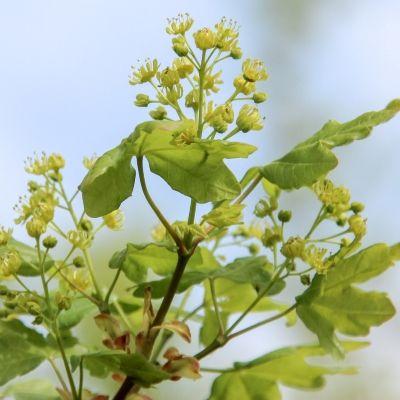 Acer campestre Elsrijk -Field Maple