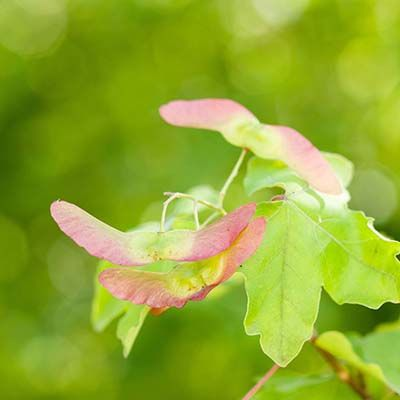 Acer campestre-Field Maple, feathered tree
