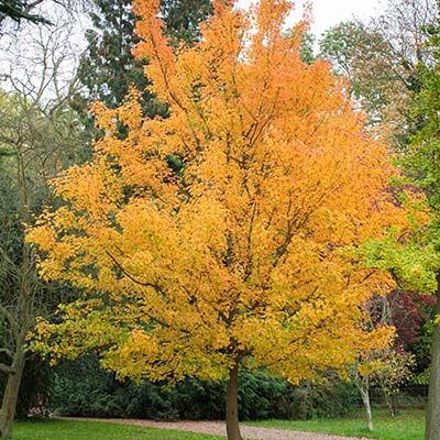 Acer campestre-Field Maple, Bareroot, standard form