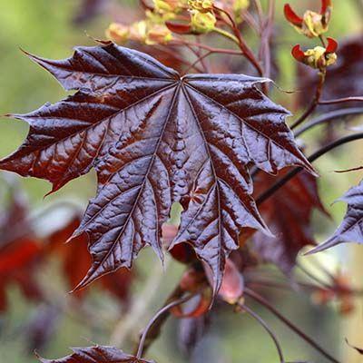 Acer platanoides Crimson King-Red Leaved Maple