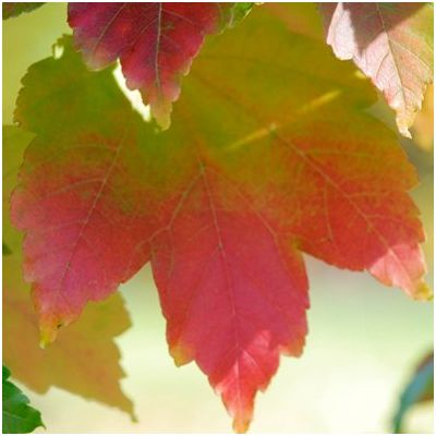 Acer rubrum October Glory-Red Maple