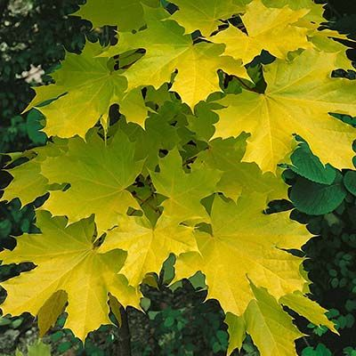 Acer platanoides Princeton Gold-Yellow leafed Norway Maple