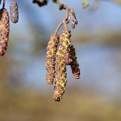 Alnus glutinosa-Common Alder