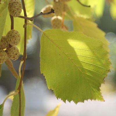 Alnus incana aurea-Golden Alder