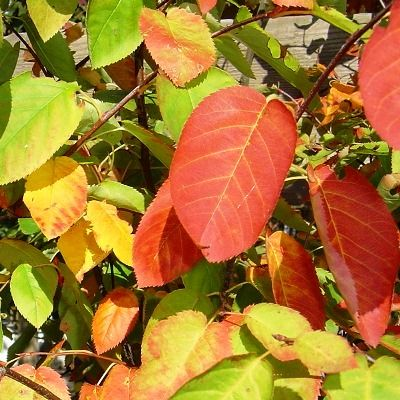 Amelanchier lamarkii-Snowy Mespilus or Juneberry, Multi Stem Form