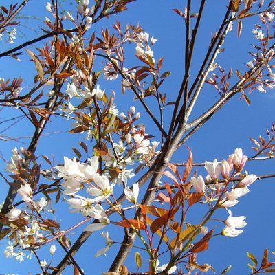 Amelanchier arborea Robin Hill-Snowy Mespilus