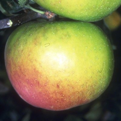 Apple Blenheim Orange-2yr bush MM106 rootstock