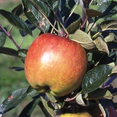 Apple Braeburn-2yr bush MM106 rootstock