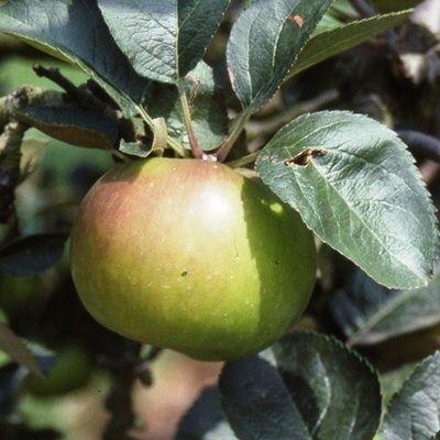 Apple Bramley Seedling-2yr bush MM106 rootstock