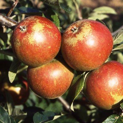 Apple Cox Orange Pippin-2yr bush MM106 rootstock
