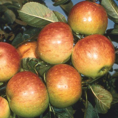 Apple James Grieve-2yr bush MM106 rootstock