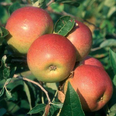 Apple Laxtons Superb-2yr bush MM106 rootstock