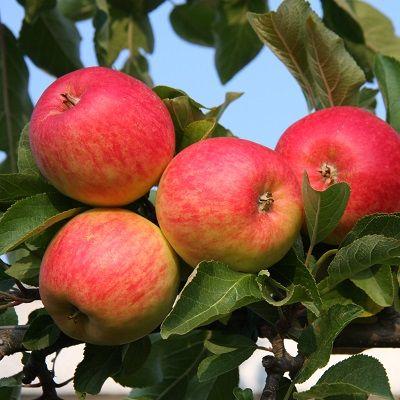 Apple Red Falstaff-2yr bush MM106 Rootstock