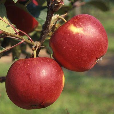 Apple Scrumptious-2yr bush MM106 rootstock
