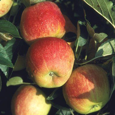 Apple Worcester Pearmain-2yr bush MM106 rootstock