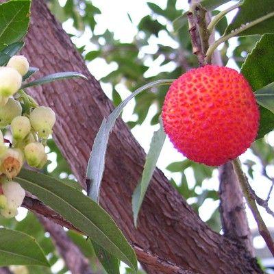 Arbutus unedo-Strawberry Tree