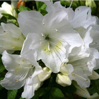 Azalea Pleasant White-Evergreen Azalea