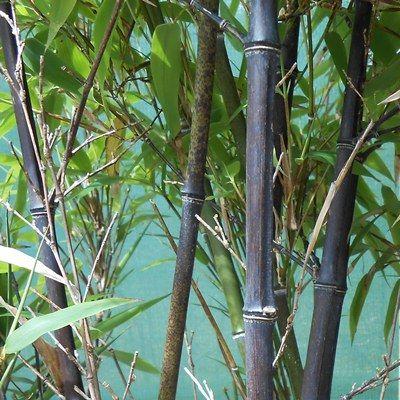 Phyllostachys nigra-Black Bamboo