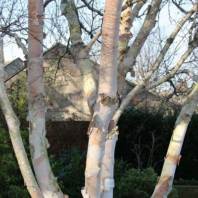 Betula costata Daleside-Korean birch Daleside