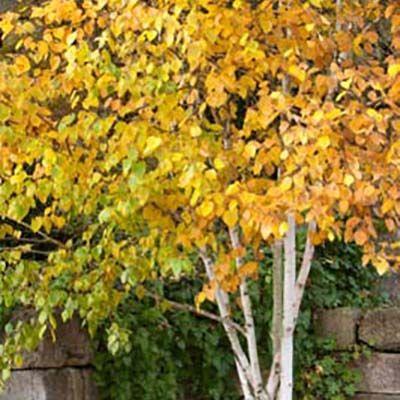 Betula utilis jacquemontii-Himalayan Birch