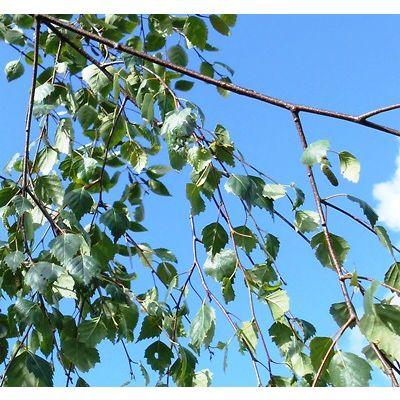 Betula pendula Youngii-Weeping Silver Birch