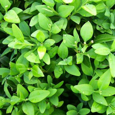 Buxus sempervirens-Box