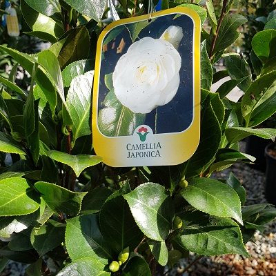 Camellia japonica Perfect White-Japanese Camellia Purity