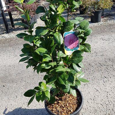 Camellia japonica Sacco Vera-Japanese Camellia