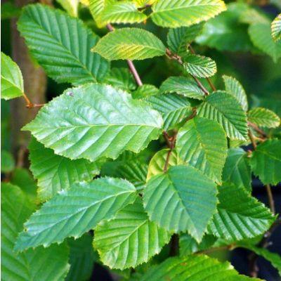Carpinus betulus-Hornbeam