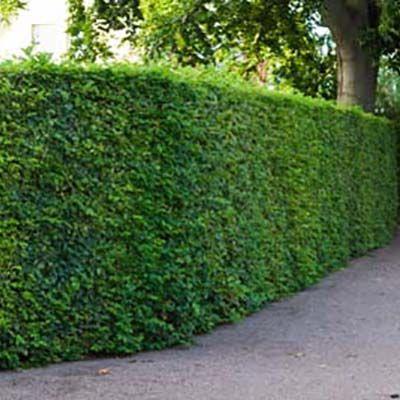 Carpinus betulus-Hornbeam hedging plant