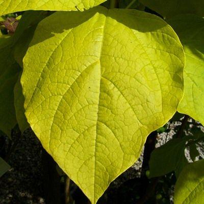 Catalpa bignonoides Aurea-Golden Indian Bean Tree