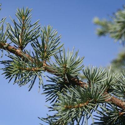 Cedrus atlantica glauca-Blue Atlas Cedar
