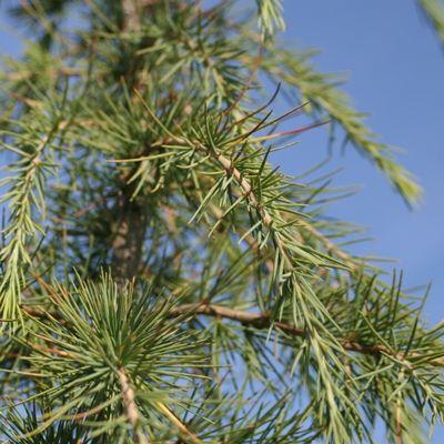 Cedrus deodara-Deodar Cedar