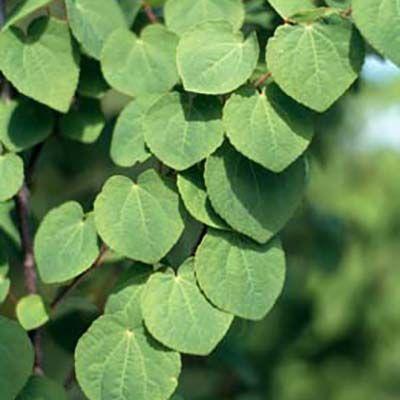 Cercidiphyllum japonicum-Katsura Tree