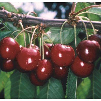 Cherry Stella-Fan