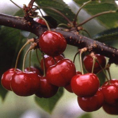 Cherry Sunburst-2yr bush Colt rootstock