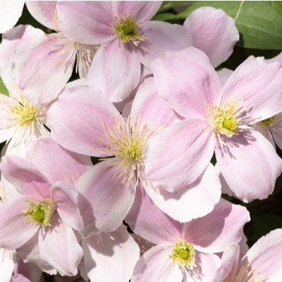 Clematis montana rubens-Clematis