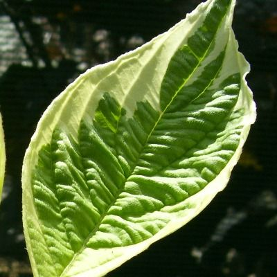 Cornus alba elegantissima-Variegated Dogwood