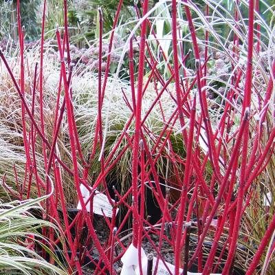 Cornus alba sibirica-Red Barked Dogwood