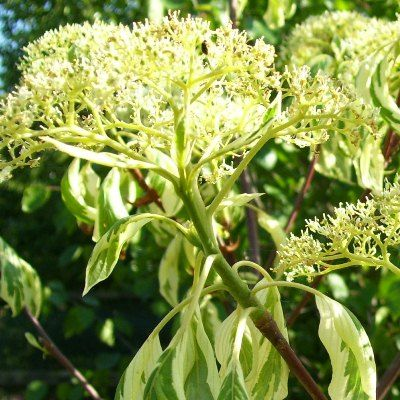 Cornus controversa variegata-Wedding Cake Tree