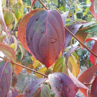 Cornus kousa chinensis-Flowering Chinese Dogwood