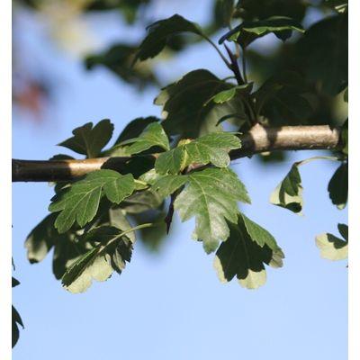 Crataegus monogyna-Hawthorn
