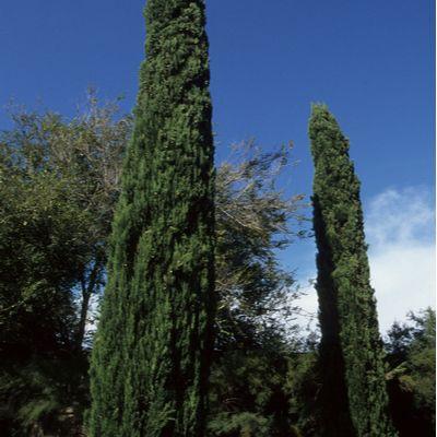 Cupressus sempervirens pyramidalis-Italian Cypress