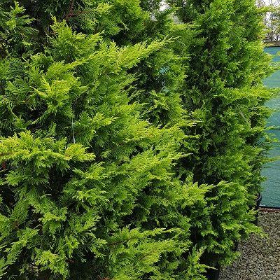 Cupressus leylandii Gold Rider-Yellow Gold Leyland Cypress