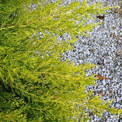 Cupressus macrocarpa Goldcrest-Golden Monterey Cypress